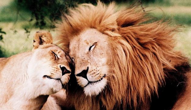 Loving Lions