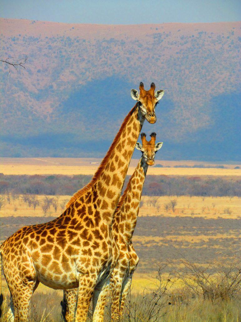 Giraffe GFK Hanna Bro