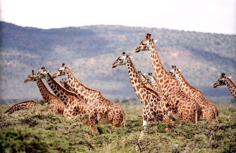 Wilde Giraffen