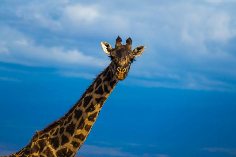 giraffe solo