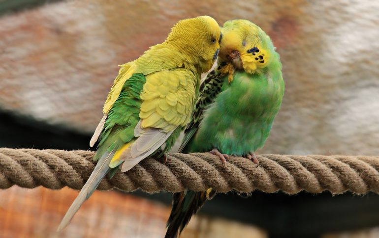 MAMA BERLIN Ehe für Kanarienvögl