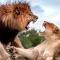 Kämpfende Löwin und Löwe